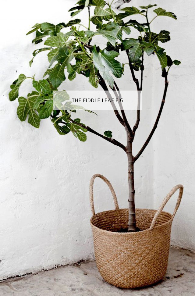 Fiddle Leaf Fig11