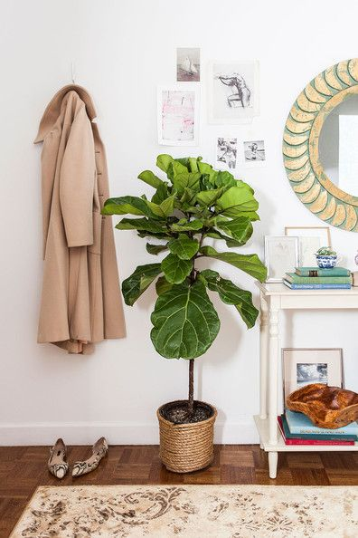 Fiddle Leaf Fig3