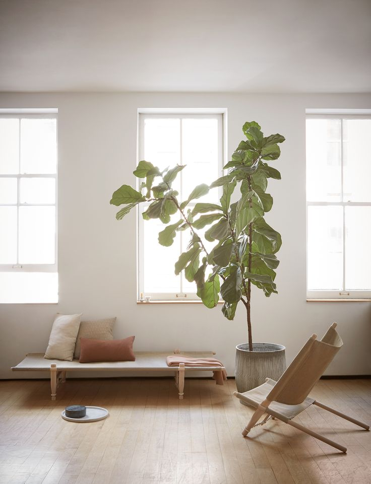 Fiddle Leaf Fig6