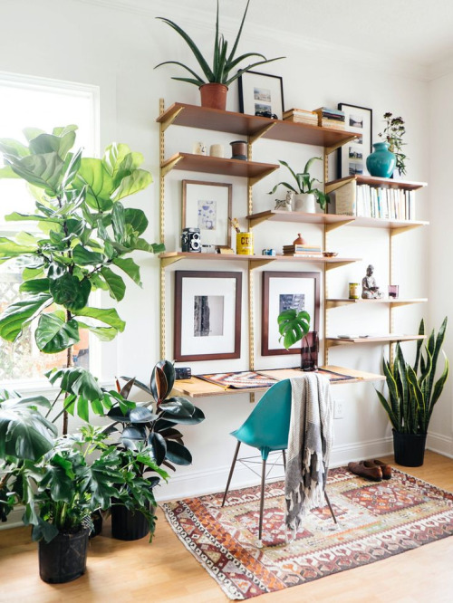 Fiddle Leaf Fig9