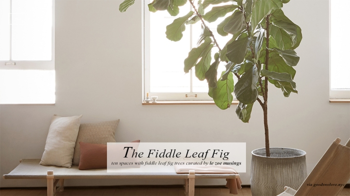 Fiddle Leaf Fig_Round-up by Le Zoe Musings 2